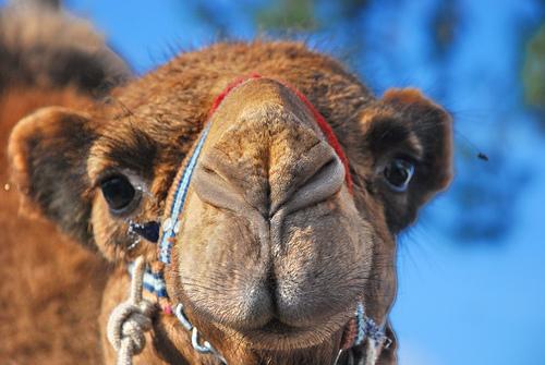Deve (Camel)