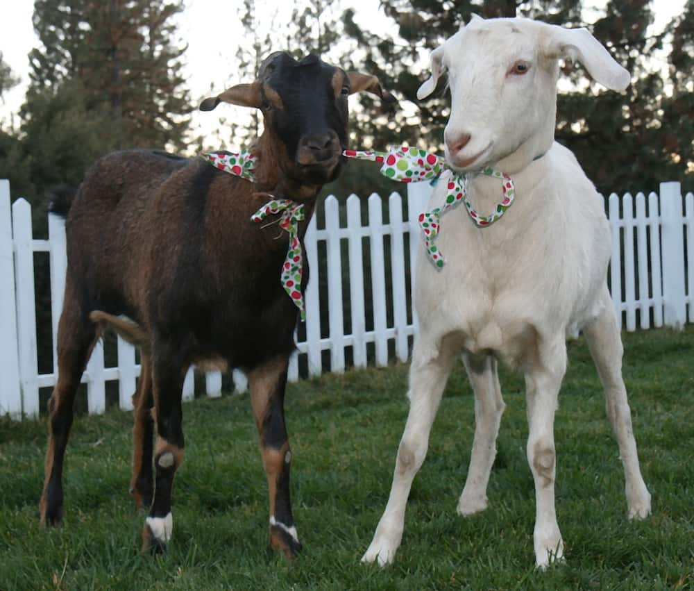 How to Sell Your Pet Goats With a Story –