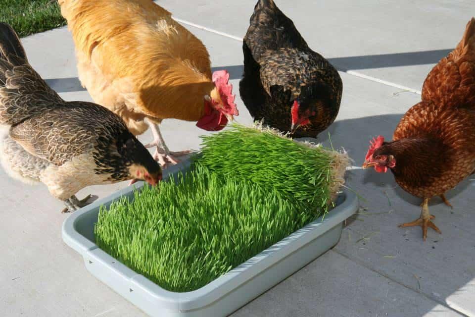 Fodder Chickens