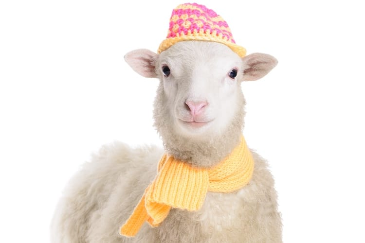 13-lamb