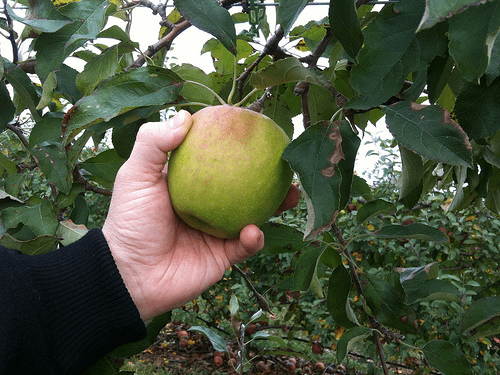 Green Apple Orchard Picking